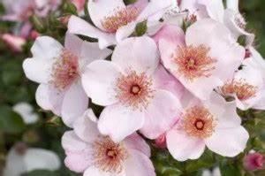 Sweet Pretty Rose : sweet pretty shrub garden roses pococks roses the cornish rose company ~ A.2002-acura-tl-radio.info Haus und Dekorationen