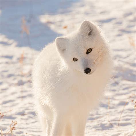 Animal Winter Wallpaper - mz77 winter animal fox white wallpaper