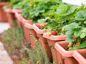 Erdbeeren Richtig Pflanzen : erdbeeren im blumenkasten so einfach ernten sie leckere ~ Lizthompson.info Haus und Dekorationen