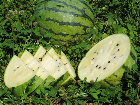 White Wonder Watermelon