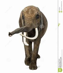 Front View Of An African Elephant, Lifting Its Trunk Stock ...