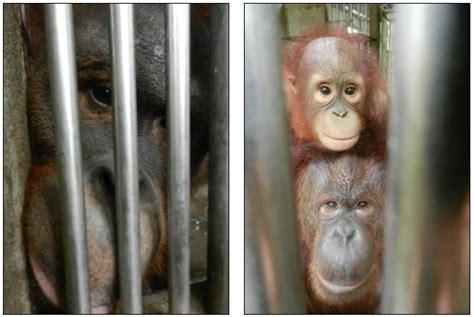 orangutans cages panda thai tiny trapped stare existence hopeless melaka zoo bars