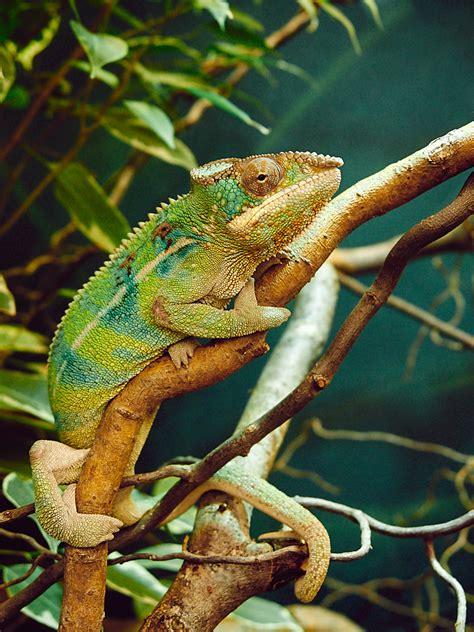 Chamäleon Foto & Bild | tiere, wildlife, wildlife ...