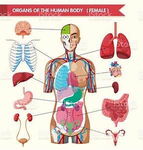 Organs Of The Human Body Diagram Stock Illustration - Download Image Now