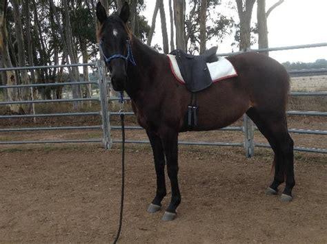 andalusian spanish tb athletic horsezone horses