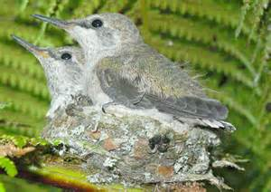 What Do Baby Hummingbirds Look Like