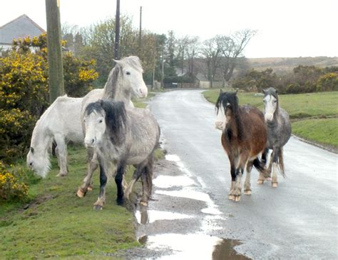 ponies wild wales gower peninsula run docile appear although track always should these