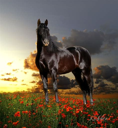 stallion andalusian horse kevin lusitano stallions stud xl horses marketing ganador kidder majestic long