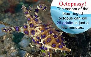 Wow Facts About the Cute But Deadly Blue-ringed Octopus