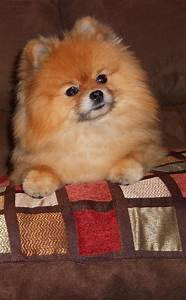 462 best images about Everything Pomeranian! on Pinterest ...