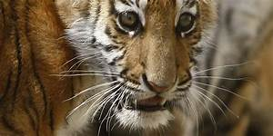 Afghan Tiger Dog | www.imgkid.com - The Image Kid Has It!