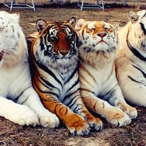 Rare Silver Gold Tigers Nature Animals Beautiful