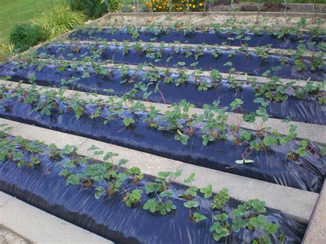 comment planter de fraisiers sur b 226 che noir arbres gardens