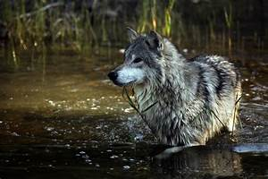 animals cute adorable wolf Awesome animal nature amazing ...