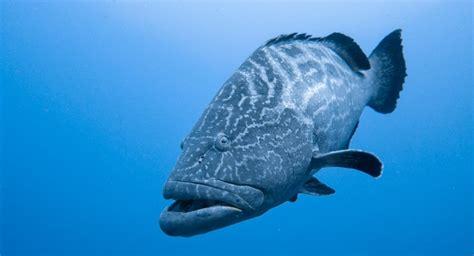 grouper florida season opens atlantic