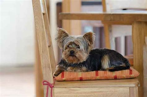 teacup yorkie shedding do yorkies shed why your quot non shedding quot is losing so