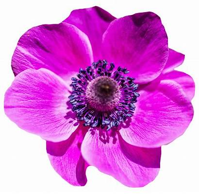 Transparent Flower Flowers Purple Background Pink Rose