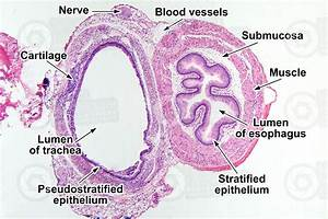 Rat  Esophagus And Trachea  Transverse Section  64x