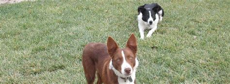 McNab Shepherd :: North Bay Canine Rescue & Placement