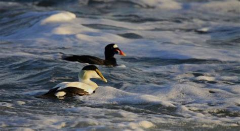 Photo Gallery And Slide Show Sea Duck Hunting  Cape Cod, Ma