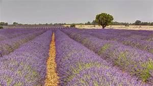 Pflege Von Lavendel : lavendel anbau und pflege plantura ~ Lizthompson.info Haus und Dekorationen