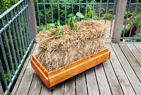 Where To Buy Straw Bales For Gardening by How To Condition And Plant A Straw Bale Garden Bonnie Plants
