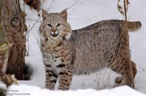 lynx cat cat poems the national wildlife federation