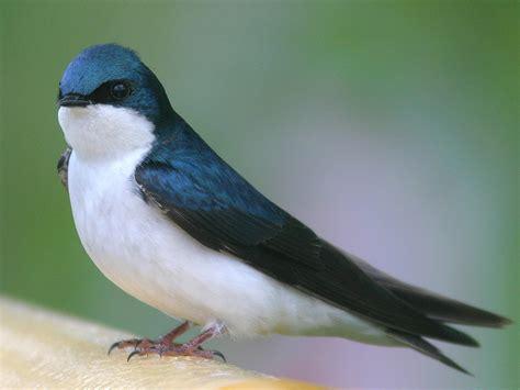 foto natura huesca golondrinas golondrina swallow 燕子