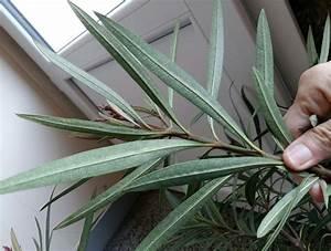 Laurier Rose Maladie : pourquoi les feuilles de mon laurier rose virent elles au ~ Melissatoandfro.com Idées de Décoration