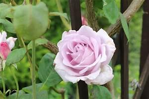 Kletterrosen Richtig Pflanzen : rosenpflege im jahresverlauf rosen richtig pflanzen und pflegen ~ Markanthonyermac.com Haus und Dekorationen