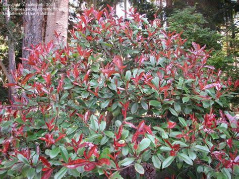 tip photinia red tipped photinias