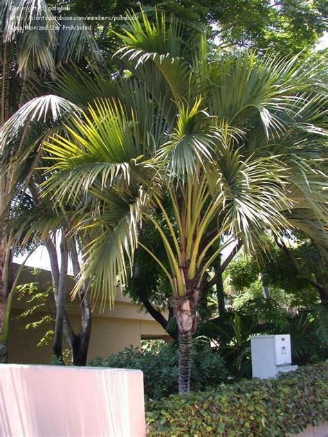 plantfiles pictures belmore sentry palm curly palm