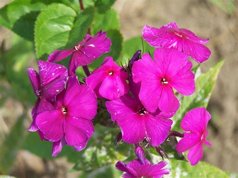Phlox Nicky Perennial Pleasures Nursery Phlox Specialists