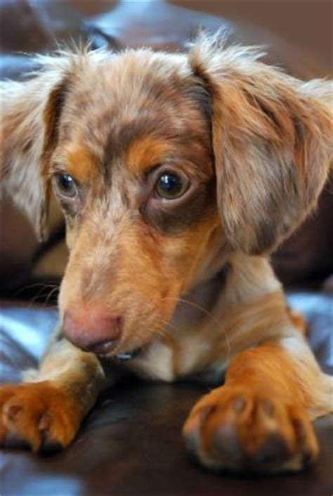 do haired chiweenies shed 174 best chiweenies dachshund chihuahua images on