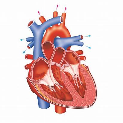 Heart Does القلب Inside Human الدمويه Works