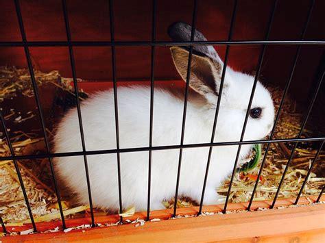 la maison dans la cagne le lapin nain ou lapin domestique adopter et 233 lever un lapin 224 la maison