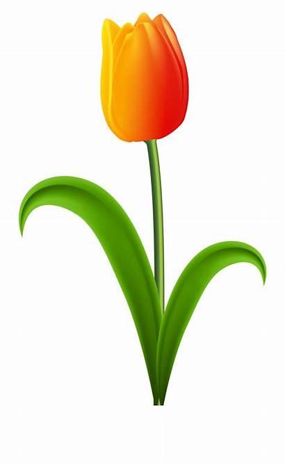 Tulip Clipart Clip Clipground