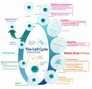 What Is The Importance Of Interphase In The Cell Cycle