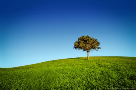 Lone Tree on Grassy Hill at Dyer Park Florida
