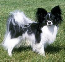 adopt  papillon dog breeds petfinder