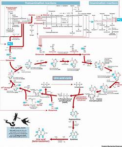 The Krebs Uric Acid Cycle  A Forgotten Krebs Cycle  Trends