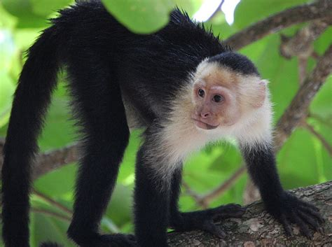 capuchin monkey picture 6 of 12 white faced capuchin cebus capucinus pictures images animals a z animals