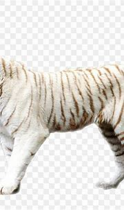 Bengal Tiger Sumatran Tiger Felidae White Tiger Wallpaper ...