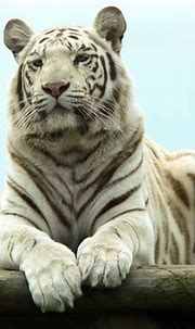 Best Animal Zoo: White Tiger