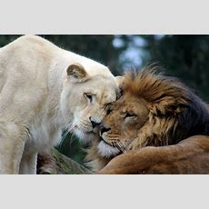 Free Images  Wildlife, Zoo, Mane, Fauna, Lioness, Big Cat