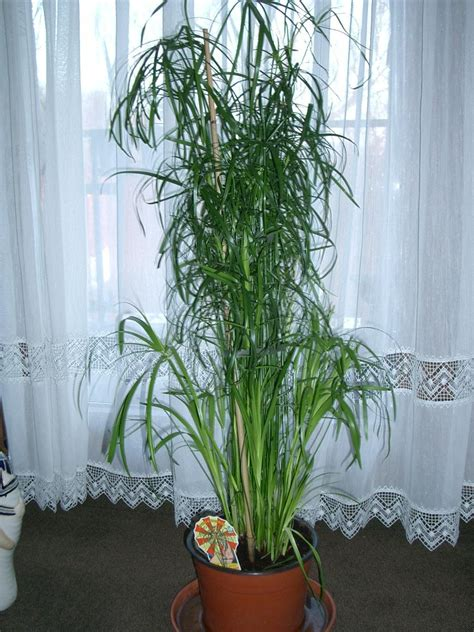 papyrus pflanze kaufen palmen und co 187 zyperngras cyperus alternifolius