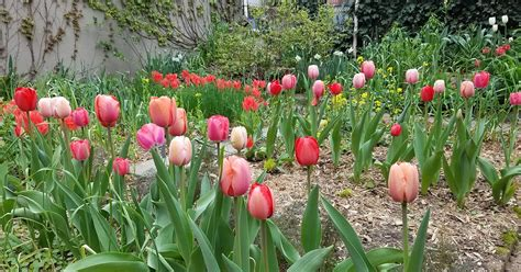 tulips the thrills 66 square feet plus post trump tulip disorder pttd
