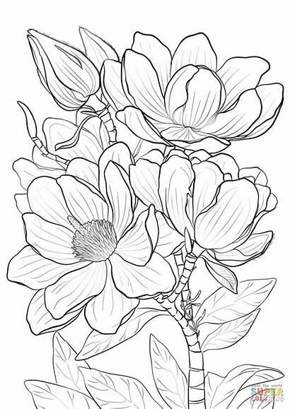 Coloring Magnolia Pages Campbells Printable Drawing Magnolias