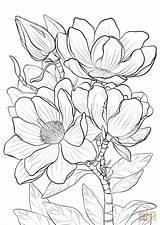 Coloring Magnolia Campbells Printable Drawing Magnolias sketch template