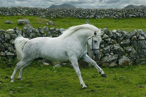 Connemara (cheval) — Wikipédia